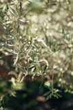 Branches and leaves of an olive tree in an olive grove Royalty Free Stock Image