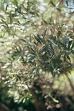 Branches and leaves of an olive tree in an olive grove Stock Photo