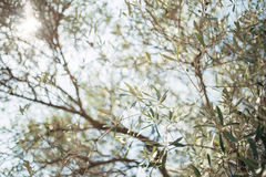 Branches and leaves of an olive tree in an olive grove Stock Images