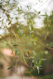 Branches and leaves of an olive tree in an olive grove Royalty Free Stock Images