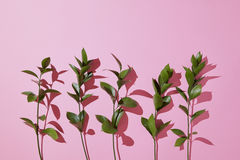 Branches leaves on a pink background. Royalty Free Stock Photography