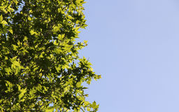 The branches and leaves of a plane tree Stock Image