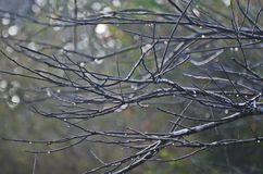 Branches and without leaves Royalty Free Stock Photo