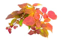 Branches Leaves Raspberry Of Berry Royalty Free Stock Photos