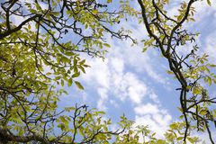 Branches,leaves and sky. An skyscape with green leaves Royalty Free Stock Photo