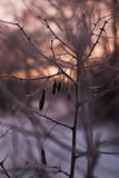 Branches without leaves, thorns, cold winter morning Royalty Free Stock Photos