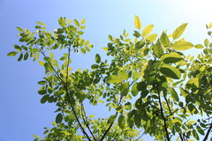 Branches with leaves of walnut Royalty Free Stock Images