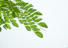 Branches of leves. On white background stock photography