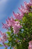 Branches of a lilac Stock Photos