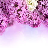 Branches of lilac Stock Photo