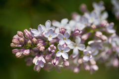 Branches of lilac. Blooming in May in Russian park Royalty Free Stock Photography