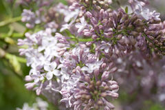 Branches of lilac. Blooming in May in Russian park Stock Photo