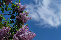 Branches of lilac flowers Royalty Free Stock Photo