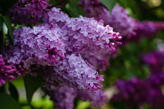 Branches of lilac flowers Royalty Free Stock Images