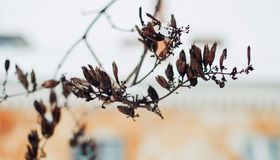 Branches of a lilac with seeds at winter Royalty Free Stock Photos
