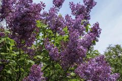 Deep purple lilacs against blue sky. Branches of lilacs in full bloom in the spring. Background of dark green leaves and sky stock images