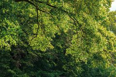 Branches of linden tree in blossom. Beautiful summer nature scenery stock photography