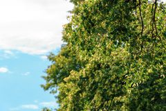 Branches of linden tree in blossom. Beautiful summer nature scenery. background with blurred clouds on a blue sky royalty free stock images