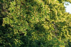 Branches of linden tree in blossom. Beautiful summer nature scenery. shallow depth of field royalty free stock images