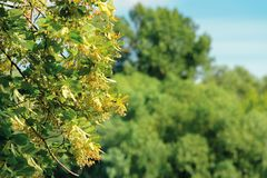Branches of the linden tree. Nature scenery in summer. blue sky blurred on the background. green foliage in a sunny day stock photo