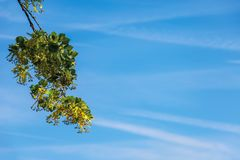 Branches of the linden tree. Nature scenery in summer. blue sky blurred on the background. green foliage in a sunny day stock photography