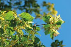 Branches of the linden tree. Nature scenery in summer. blue sky blurred on the background. green foliage in a sunny day stock photos