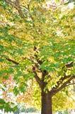 Branches of Liquid Amber tree Stock Photo