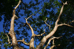 Branches from lower angle of a big old tree Royalty Free Stock Photo