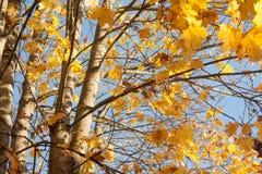 Branches lumineuses d'automne d'un arbre d'érable sur le fond de ciel bleu avec l'écureuil se reposant images libres de droits