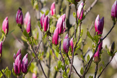 Branches of magnolia Royalty Free Stock Images