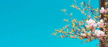 Branches of magnolia blossoms against the blue sky, blurred background banner web site royalty free stock photos