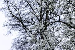 Branches with magnolia flowers against the background of a tree without leaves. White beautiful flowers on the site about nature, colors, ecology, seasons Royalty Free Stock Images