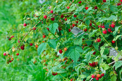 Branches with many raspberries Royalty Free Stock Photography