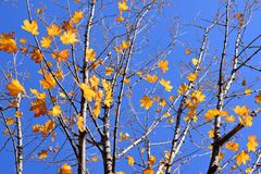 Branches of maple with autumn yellow leaves Stock Images