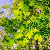 Branches of maple and rowan trees. Saint Petersburg suburbs, Russia. Bogoslovka manor complex. Branches of maple and rowan trees under the light of summer sun stock image