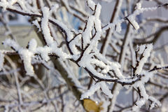 Branches of a maple tree under snow Royalty Free Stock Photography