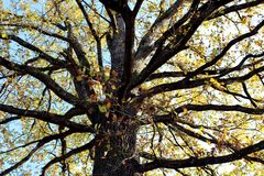 Branches of mighty old tree in autumn. Multiple large branches of mighty old tree in early autumn with leaves in different colors, from light green, yellow, to Royalty Free Stock Image