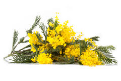 Branches Of Mimosa In Bloom Stock Image