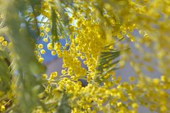 Branches of mimosa. Blossoming branches of mimosa on blue sky background Stock Photos