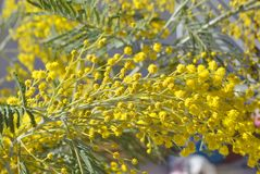 Branches of mimosa. Blossoming branches of mimosa on blue sky background Stock Photo