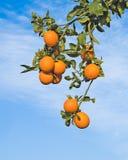 branches mogna apelsiner Royaltyfria Bilder