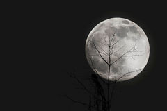 Branches with Moon at Night royalty free stock photography