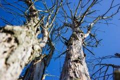 Branches mortes sur le ciel bleu Photos libres de droits