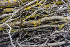Branches with moss. Branches covered with moss and snow.Blurred Background Royalty Free Stock Photography