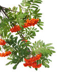 Branches of mountain ash berries Royalty Free Stock Images