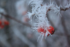 Branches mountain ash covered snow and hoar-frost. Evening in winter forest Royalty Free Stock Images