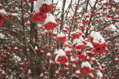Branches mountain ash covered with snow and hoarfrost. Beautiful winter forest Stock Image