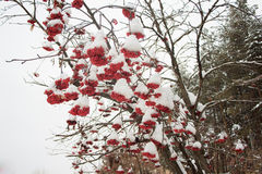 Branches mountain ash covered with snow and hoarfrost. Fairy winter landscape Royalty Free Stock Image