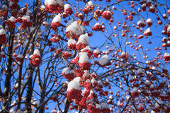 Branches mountain ash covered with snow. Branches mountain ash covered with snow over blue sky background Royalty Free Stock Photography