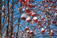 Branches mountain ash covered with snow and pieces of ice. Beautiful blue sky Royalty Free Stock Images
